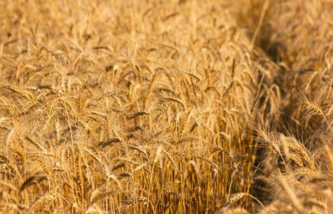 خواص گندم و الک کردن آن